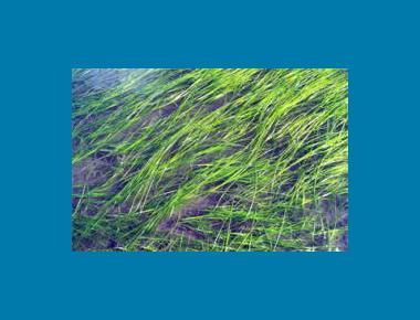 Eelgrass Bed NOAA