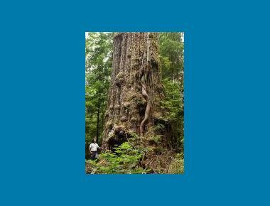 Old-growth Coastal Douglas-fir TJ Watt Wikipedia