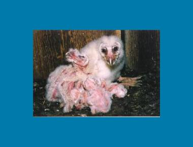 "Nestlings (""owlets"") Lorraine Andrusiak"
