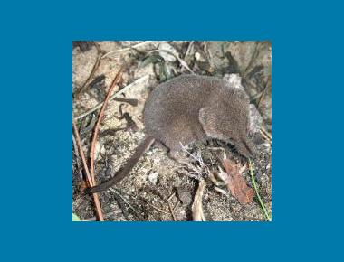 Cinereus Shrew Phil Myers University of Michigan