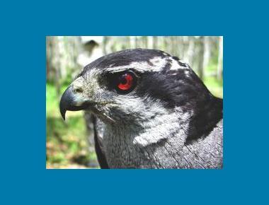 Adult head plumage & eye colouring USDAFS