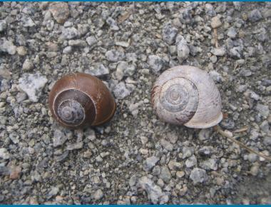 Forestsnail and Grove Snail P. Zevit