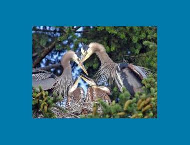 Heron Family R. Vennesland