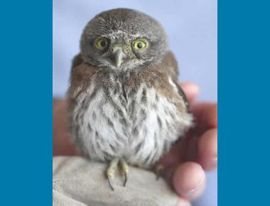 G. gnoma Owlet Sonoma (CA) Wildlife Rescue Association