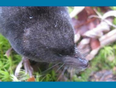 Pacific Water Shrew K. Welstead
