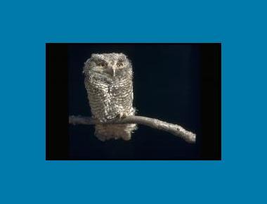 "Juvenile (""Owlet"") Dr. Lloyd Glen Ingles"