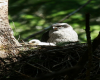 Northern Goshawk Adult & Chick CFCI