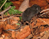 Trowbridge's Shrew A Rocha Field Centre BC