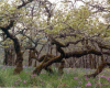 Garry Oak Meadow B. Klinkenberg