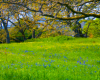 Garry Oak Meadow Ecstaticist Flickr