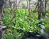 Red Alder Swamp S. Saunders