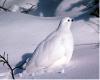Winter plumage WTPT David Restivo NPS